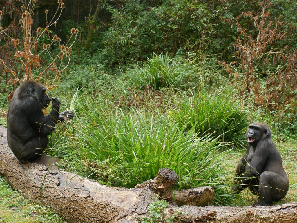 Port Lympne Amanda Fowler Inspiring Inkin' Stampin' Up! UK Gorilla